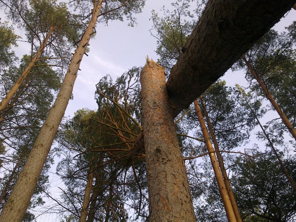 Knækket og væltet træ! Tisvilde Hegn efter stormen Bodil. Foto: Lars Rudolph ©