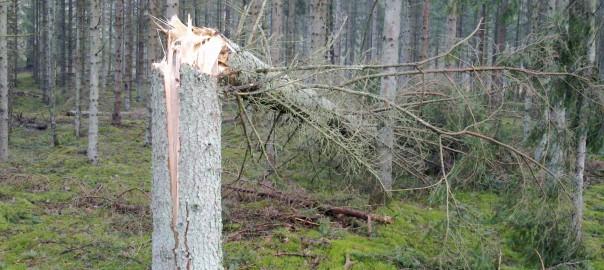 Splintret og knækket træ. Tisvilde Hegn efter stormen Bodil. Foto: Lars Rudolph ©